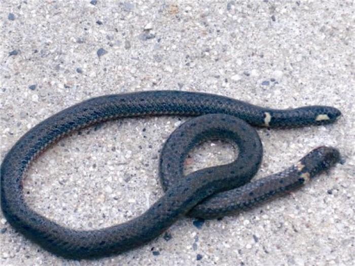 の 尻尾 蛇